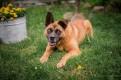 Wiesio - wielkie serce w cudownie rudym psie!
